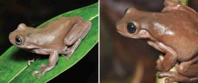 """Descubrieron una rana """"de chocolate"""" en la selva tropical de Nueva Guinea"""