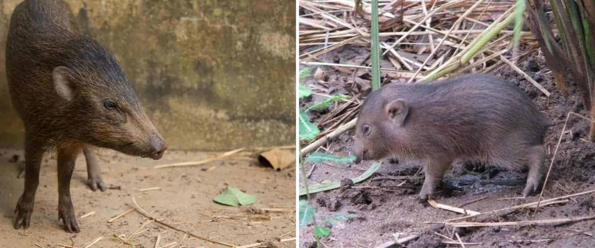El cerdo más pequeño del mundo regresa a la naturaleza luego de que se lo haya considerado extinto por un tiempo