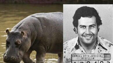 hipopótamos de la cocaína