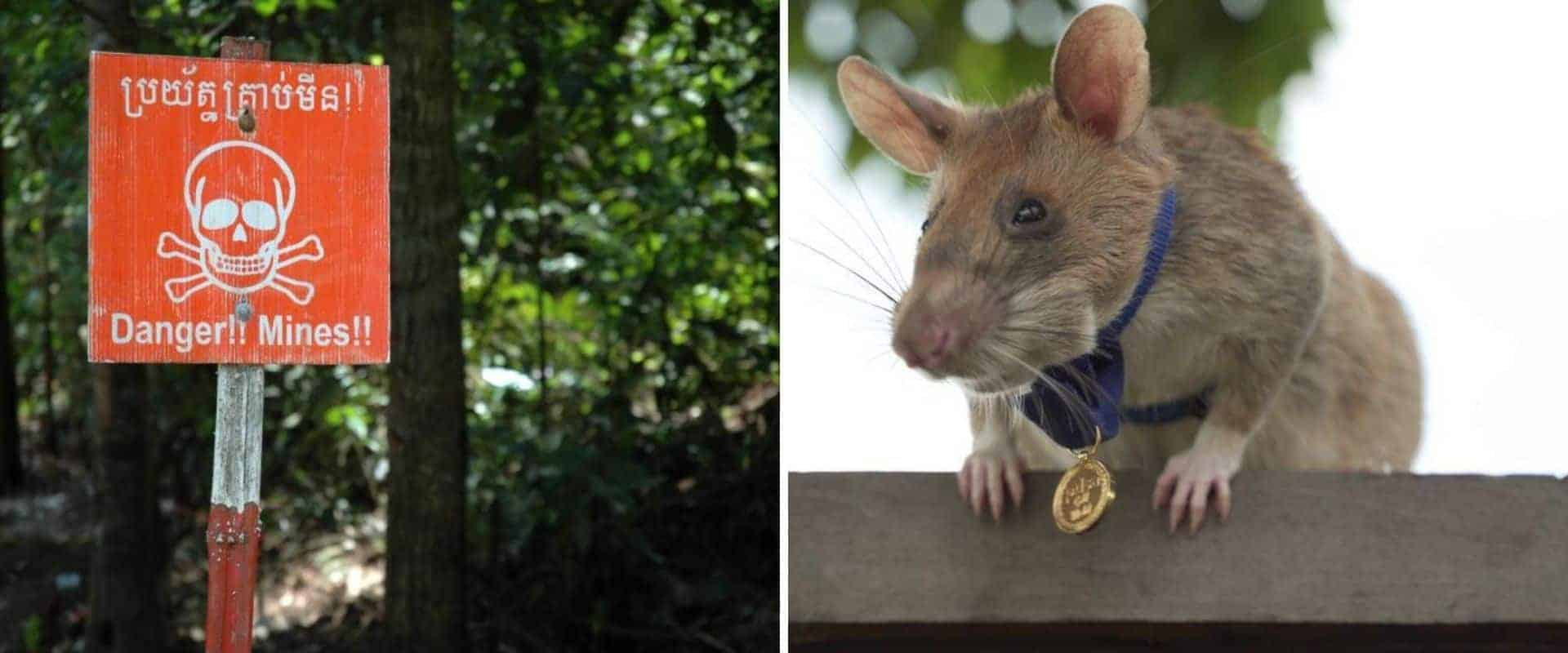 Se retira la rata que hizo historia detectando minas terrestres en Camboya