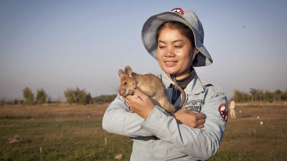 Magawa, La Rata Que Se Jubila, Junto A Su Adiestradora