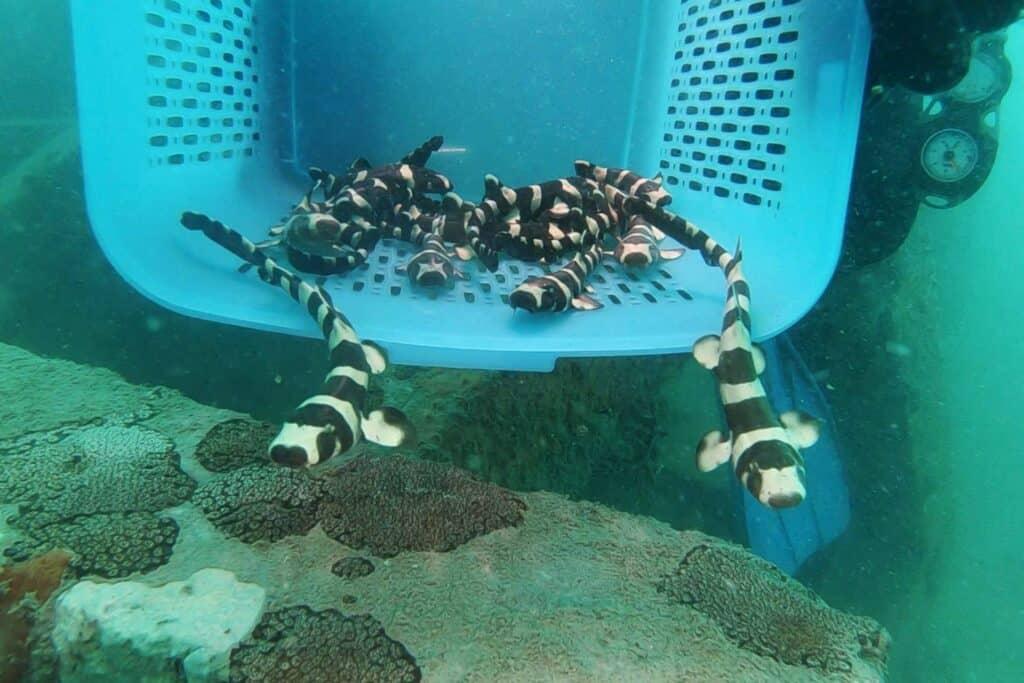 Tiburones Bambú Bebés Siendo Liberados