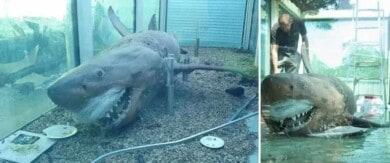 Restauran el cuerpo de un tiburón blanco de cinco metros de largo que fue abandonado en un parque acuático de Australia