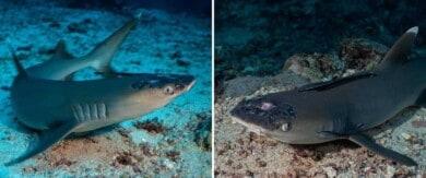 Los tiburones de arrecife de Malasia están sufriendo de una extraña enfermedad que afecta su piel