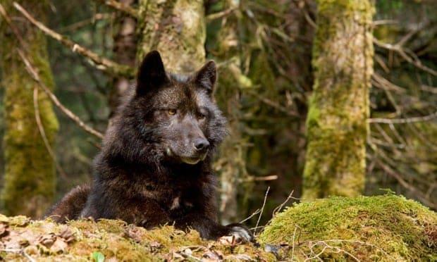 Lobo En El Bosque Nacional Tongass, Alaska
