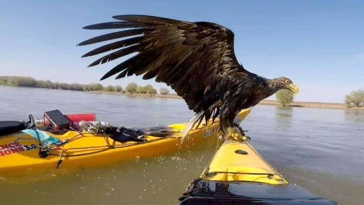 Kayakistas salvaron a unas extrañas águilas que se estaban ahogando en el río Danubio