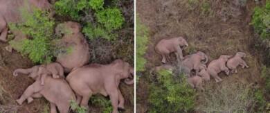 La manada de elefantes que está marchando en China fue vista tomando una descanso antes de continuar con su viaje