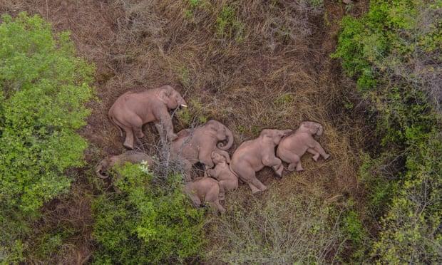 Manada De Elefantes Descansando En China