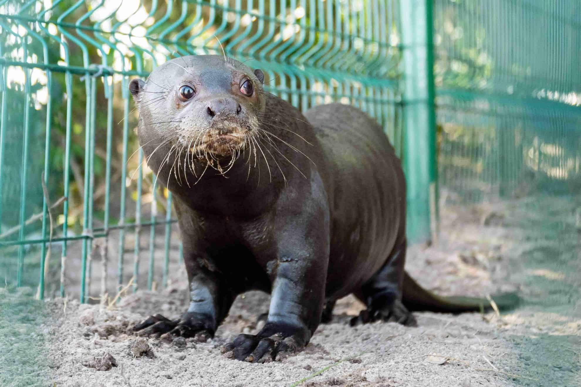 El Parque Iberá recibió a Nanay, la nutria gigante que llegó de Suecia para contribuir a la reproducción de la especie en Corrientes