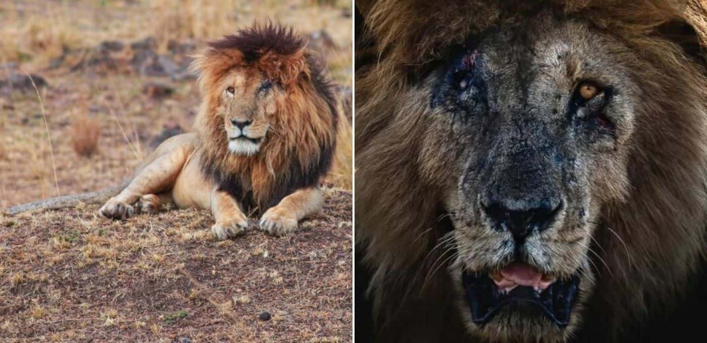 Scarface, uno de los leones más famosos del mundo, falleció a los 14 años