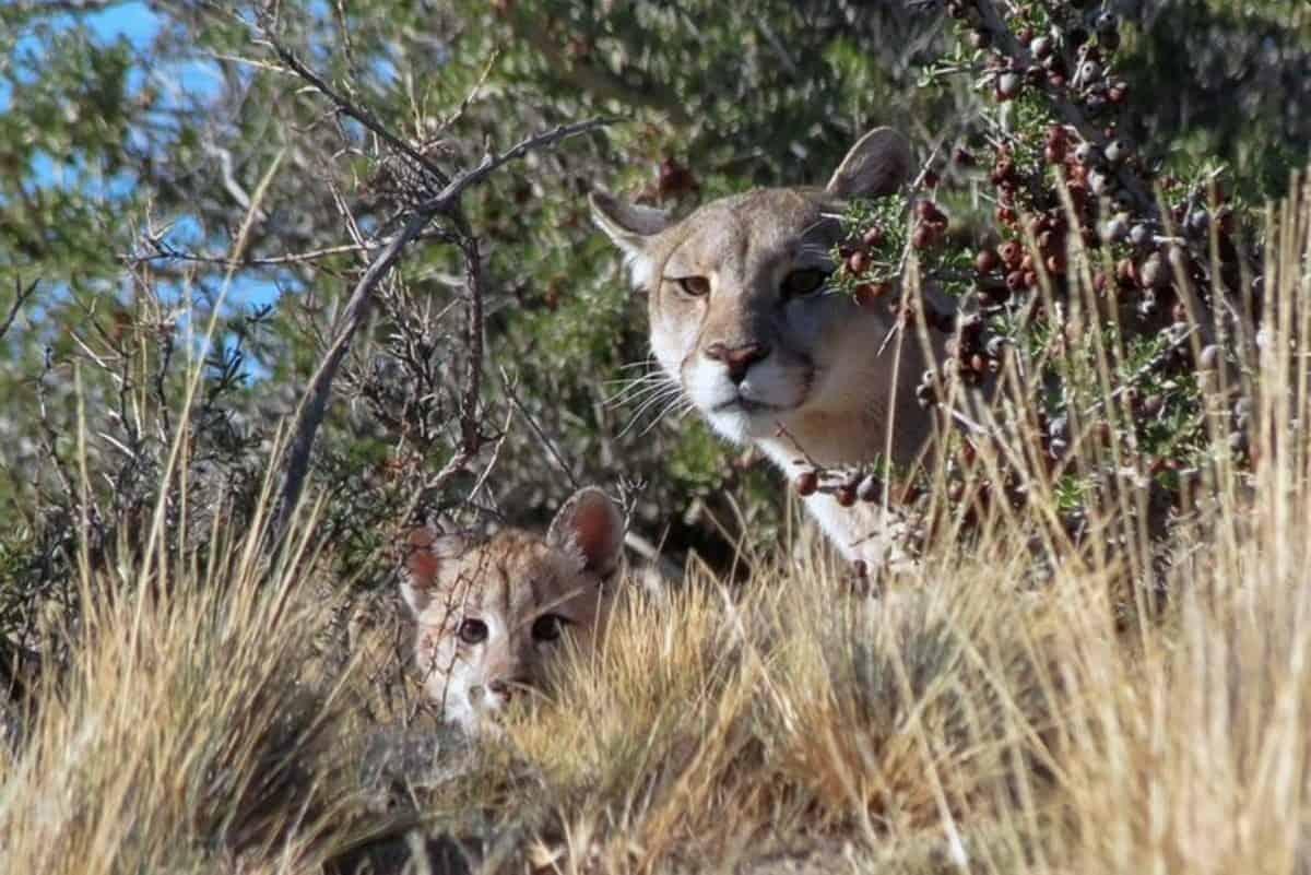 chubut-paga-por-caza-de-animales-silvestres