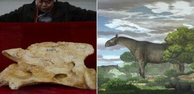 Encuentran en China los fósiles de una nueva especie de rinoceronte gigante