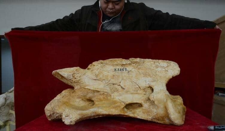 Mandíbula Del Los Fósiles De La Nueva Especie De Rinoceronte