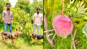 Mango Más Caro Del Mundo