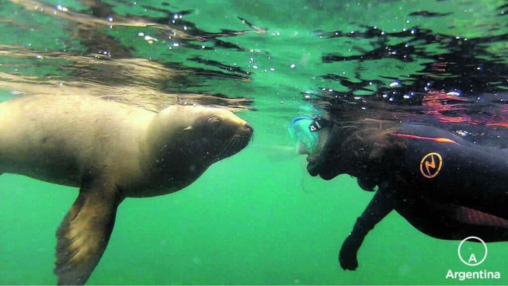 Buzo Frente A Una Loba Marina Bajo El Agua