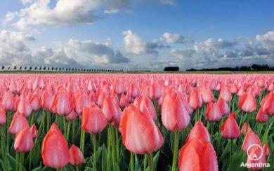 campo-de-tulipanes-2