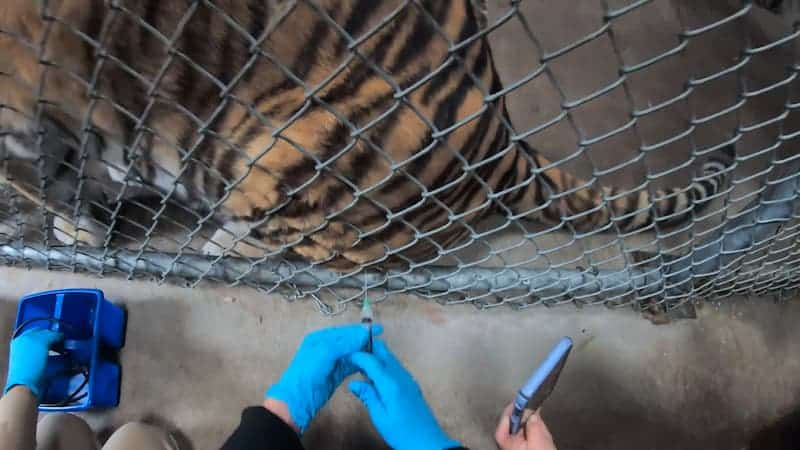 Tigre Recibiendo Vacuna Contra El Covid-19