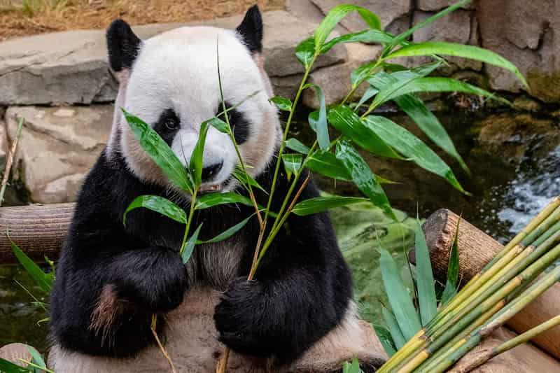 Panda Gigante Alimentándose