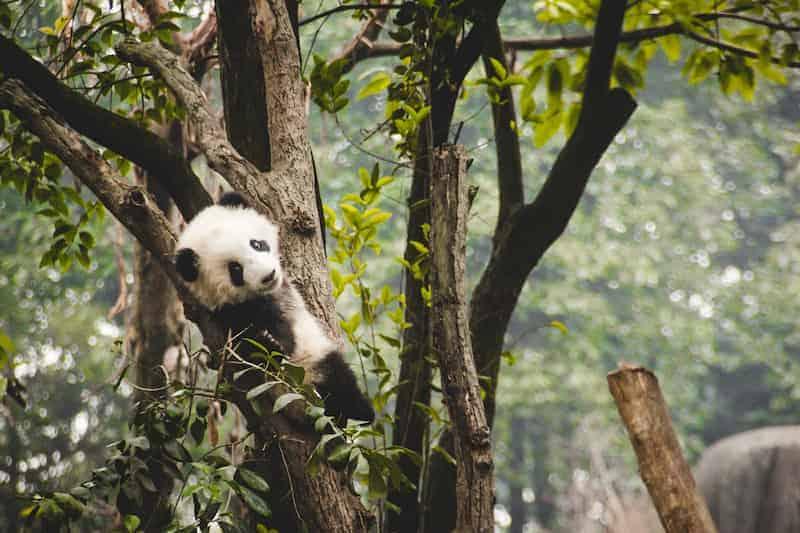 Panda Gigante Cachorro En Un Árbol
