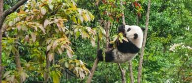 Los pandas gigantes ya no se encuentran en peligro de extinción, anunció China