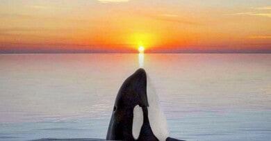 fotografa-orcas-atardecer
