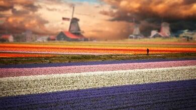 mejores-lugares-para-ver-tulipanes-en-Holanda-cuándo-y-cómo-visitar-campos-de-tulipanes