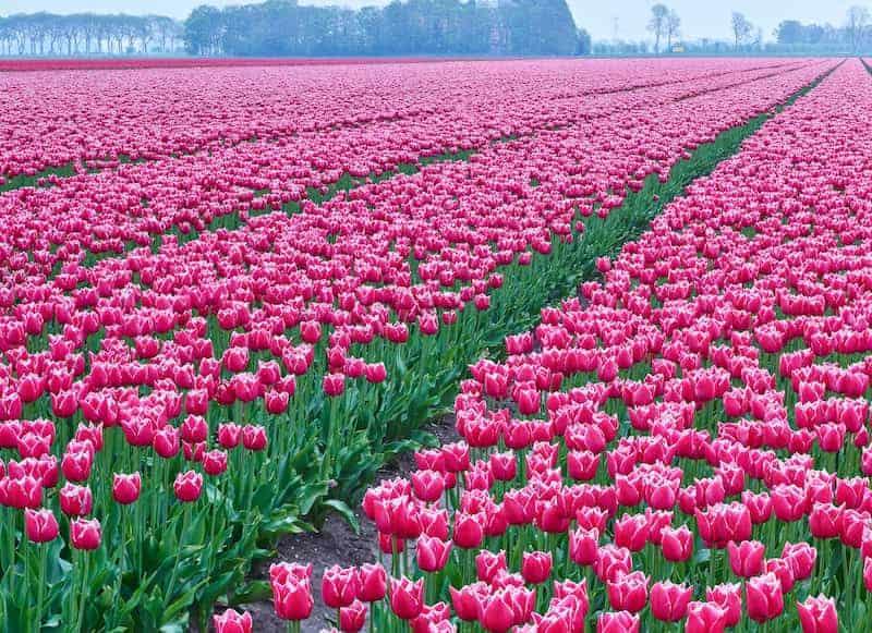 Tulipanes-En-Holanda