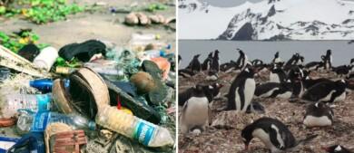 Científicos advierten sobre la presencia de microplásticos en la alimentación de pingüinos de la Antártida