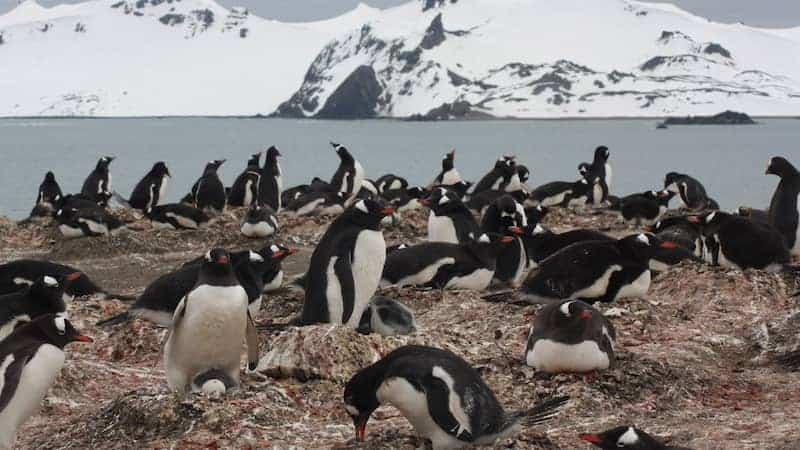 Encuentran Microplásticos En Pingüinos