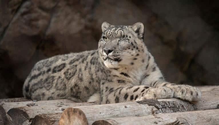 Leopardo De Las Nieves Del Zoológico De San Diego