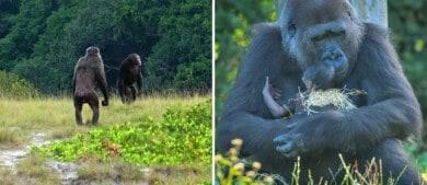 Por primera vez se observó un ataque mortal de chimpancés hacia gorilas y estudian su relación con el cambio climático