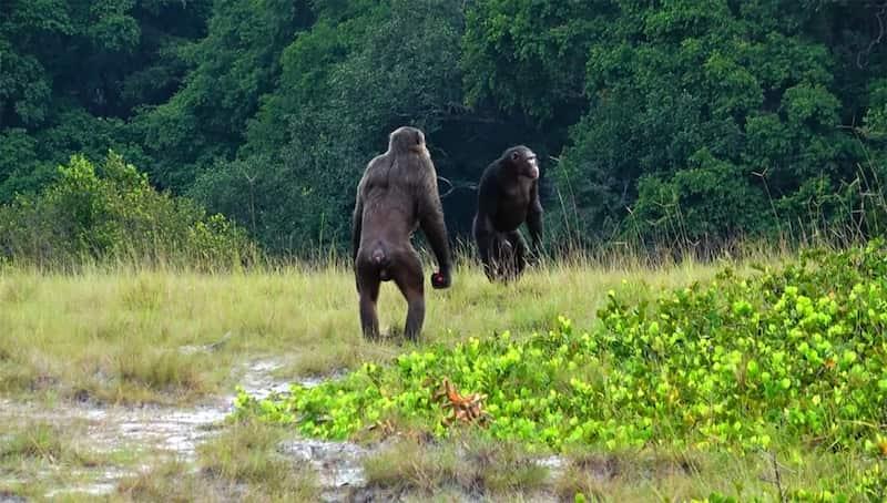 Chimpancés Adultos