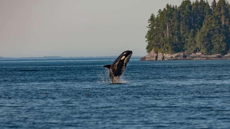 Orca Saliendo Del Agua