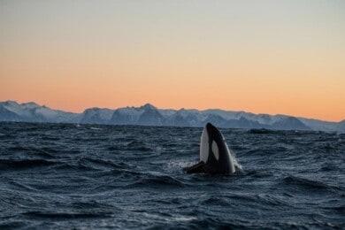 Te contamos todo sobre la orca que logró imitar sonidos de la voz humana