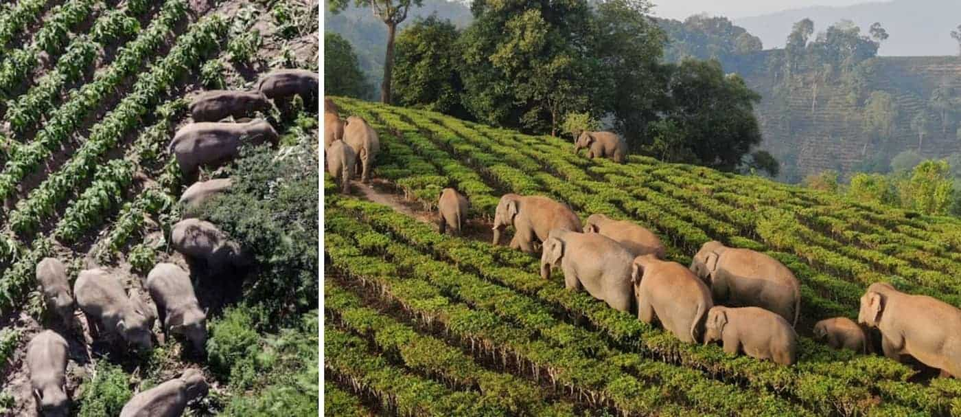 China: la manada de elefantes regresa a su hogar luego de más de 1 año