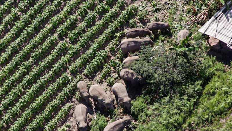 Manada De Elefantes Regresa A Su Hogar