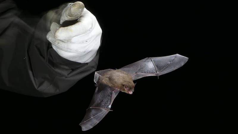 Murciélago De La Especie  'Pipistrellus Nathusii'