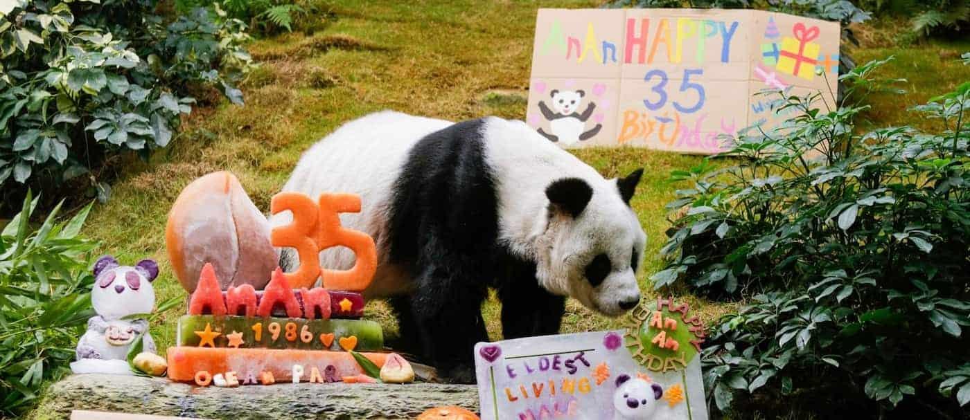 El panda más longevo del mundo bajo el cuidado de humanos cumplió 35 años