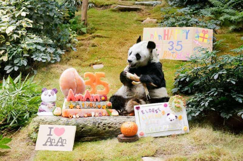 An An, Un Panda Gigante Que Cumplió 35 Años