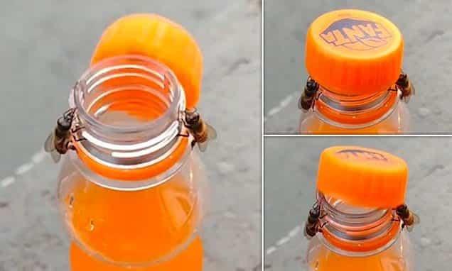 Un asombroso video muestra a dos abejas abriendo una botella de Fanta