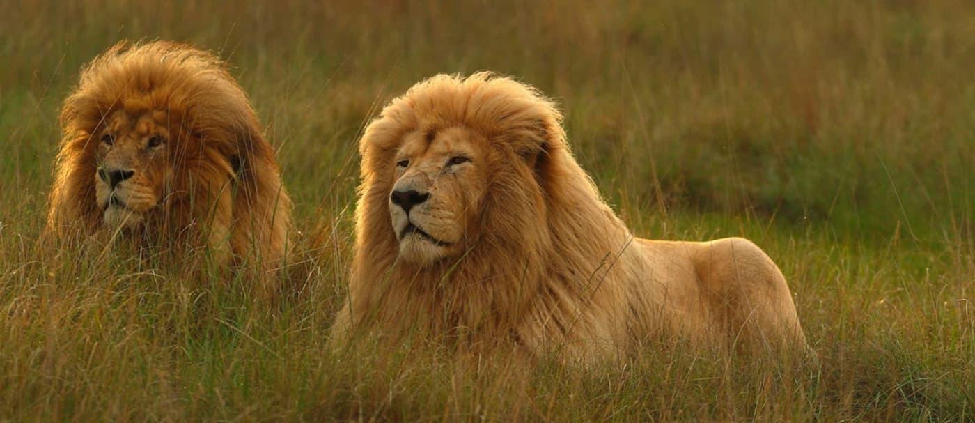 Un santuario de Sudáfrica encierra a las personas mientras los animales caminan a su alrededor