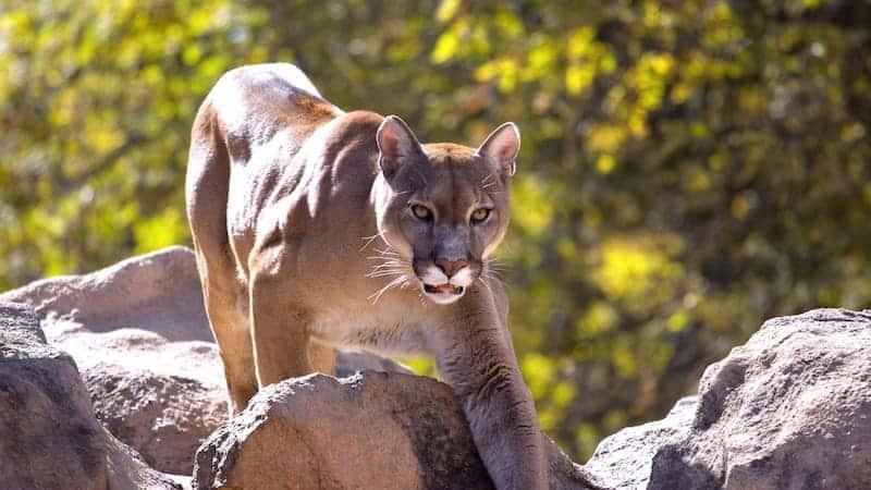 Una Madre Salvó A Su Hijo De Un Puma