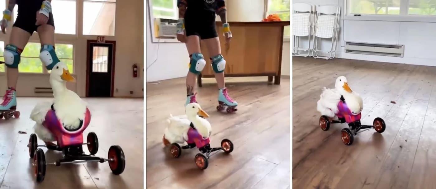 [VIDEO] Una pata aprende a caminar nuevamente gracias a una silla de rueda