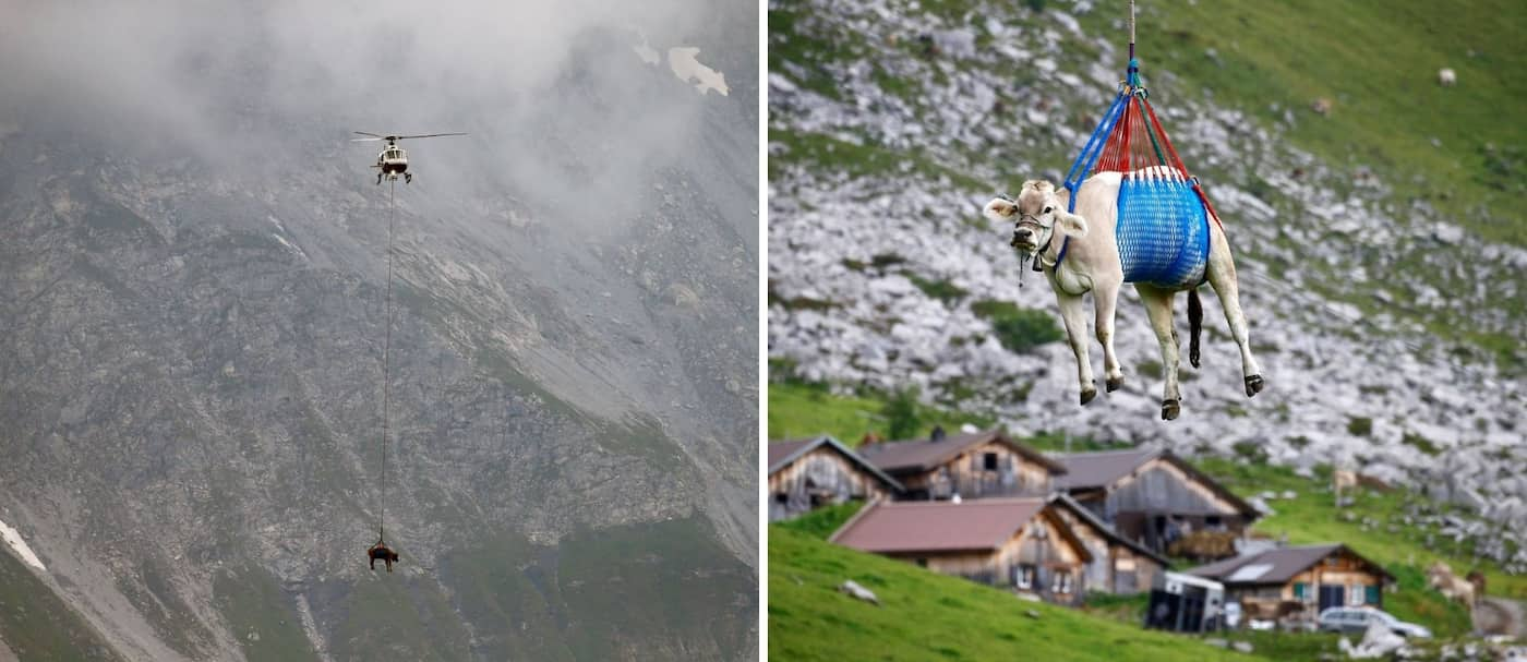 Un grupo de vacas fueron trasladas en helicóptero en los Alpes suizos