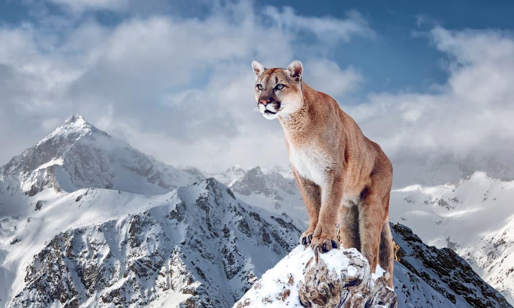 Día Internacional del Puma
