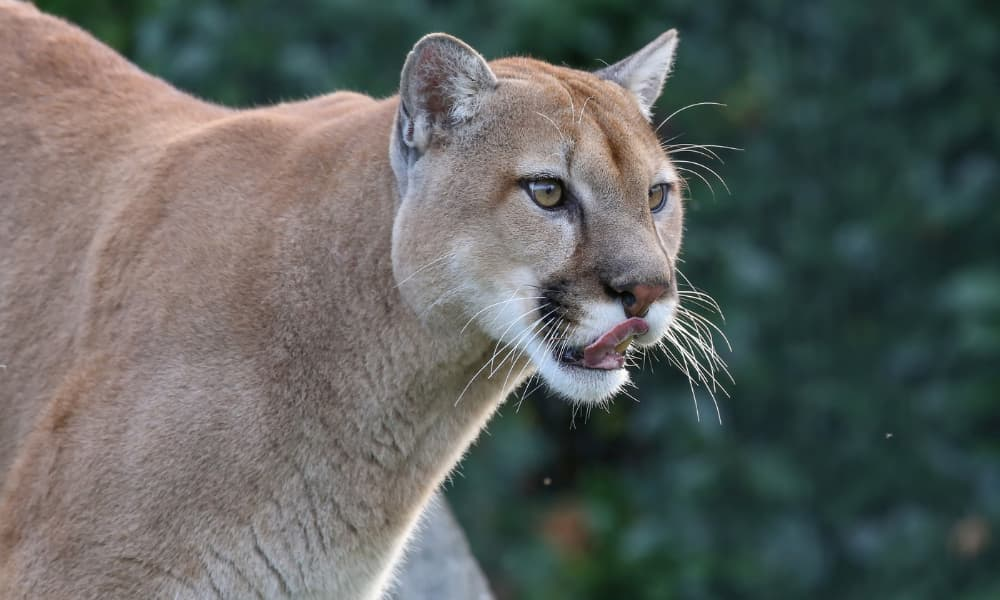 Día Internacional Del Puma ¿Por Qué La Disminución Y/O Ausencia De Población De Pumas Sería Ecológicamente Contraproducente?