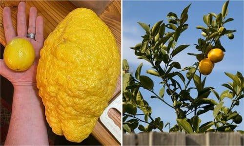 limón gigante