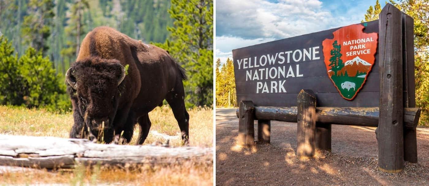 ¡Increíble! Una mujer se salvó de un ataque de bisonte quedándose tirada en el suelo