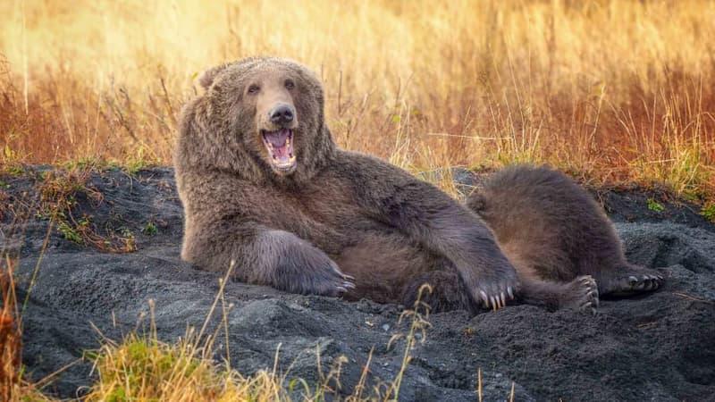 Comedy Wildlife Photo Awards - Oso Recostado