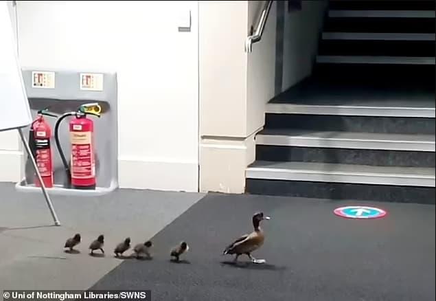 Una adorable mamá pato guía a sus patitos a través de la biblioteca de la universidad